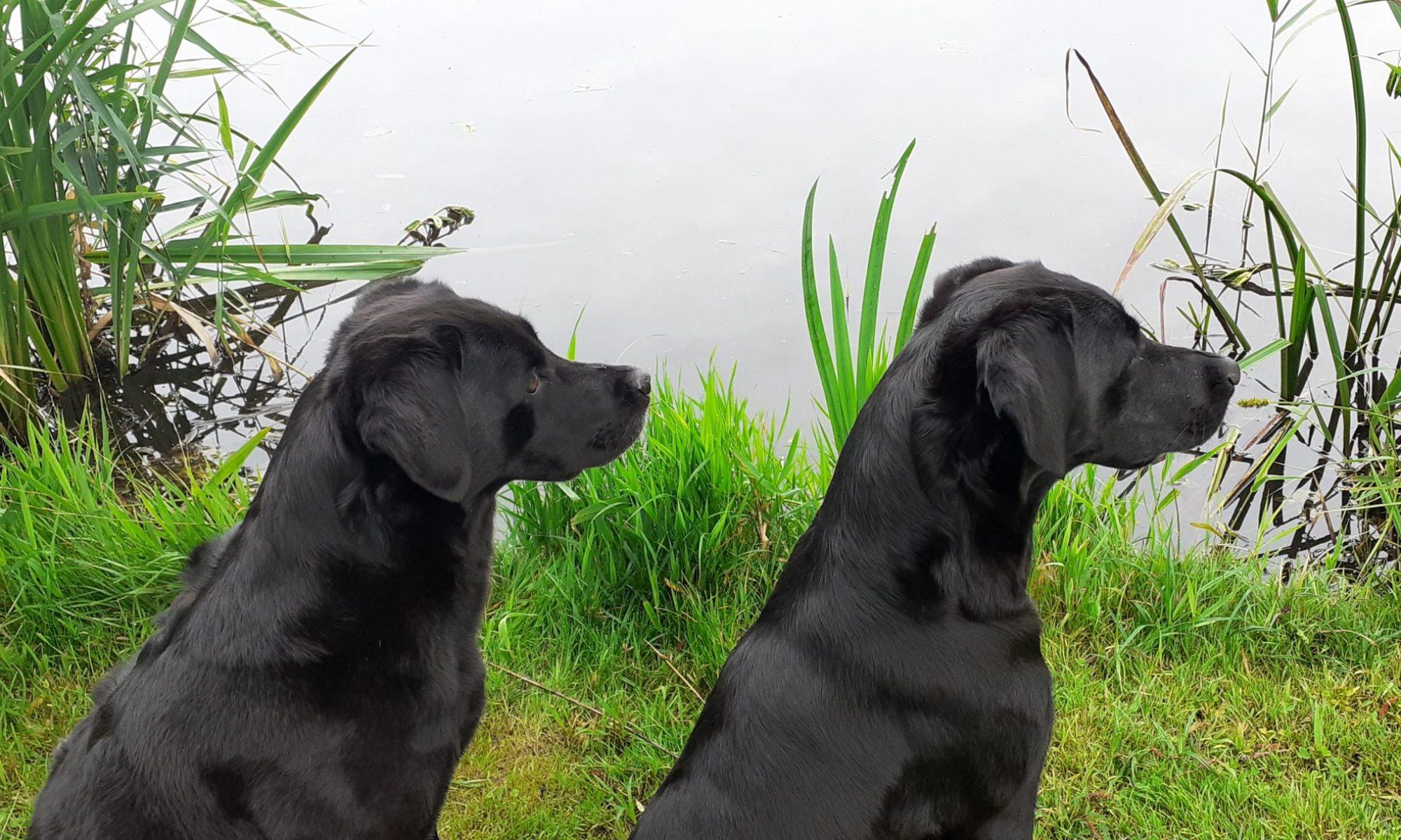 Labradore von Thienbüttel